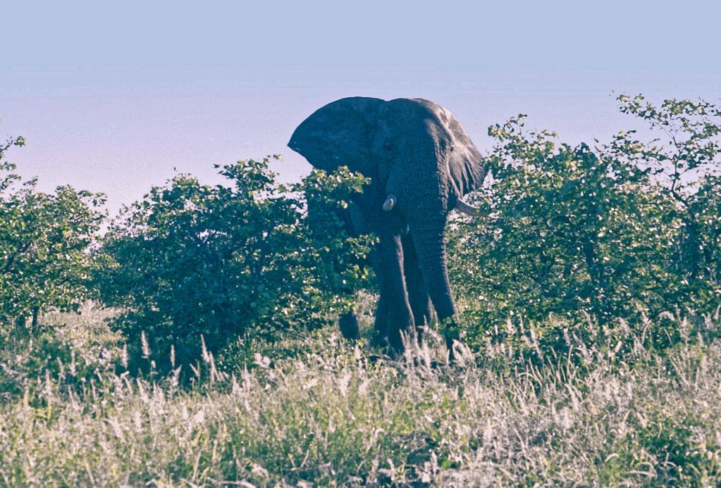 L'éléphant grincheux du Krüger Park Biglif13