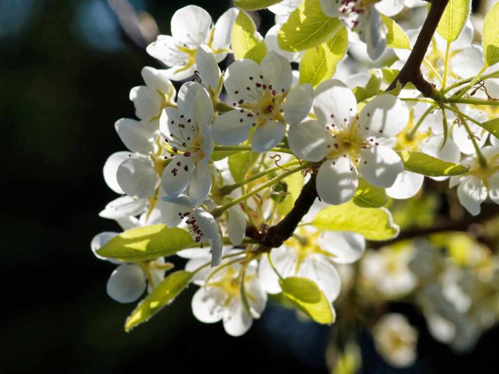 Rêve de poires... P3280015