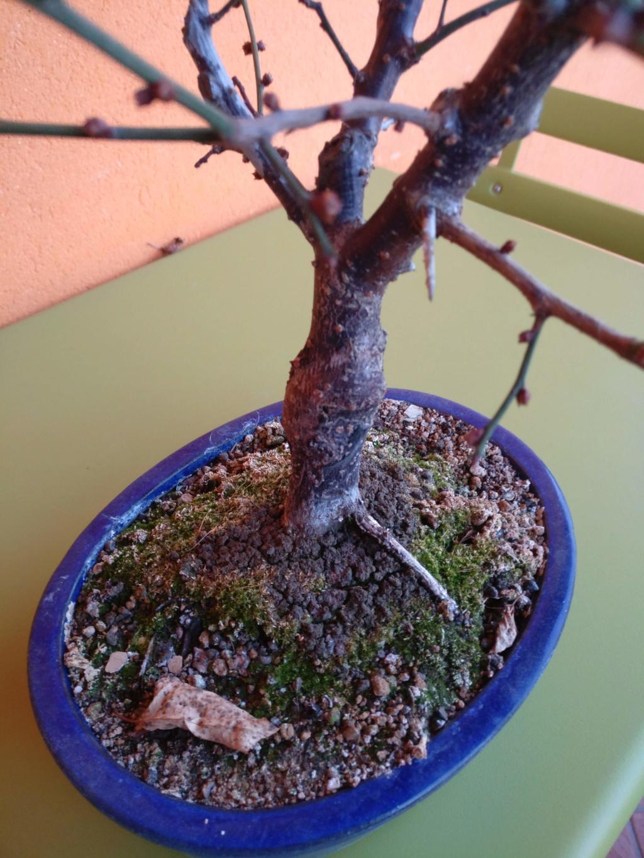 fioritura prunus bloccata Img_2012