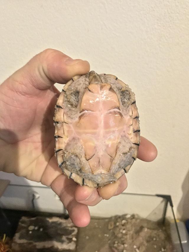 identification de notre tortue Tortue13