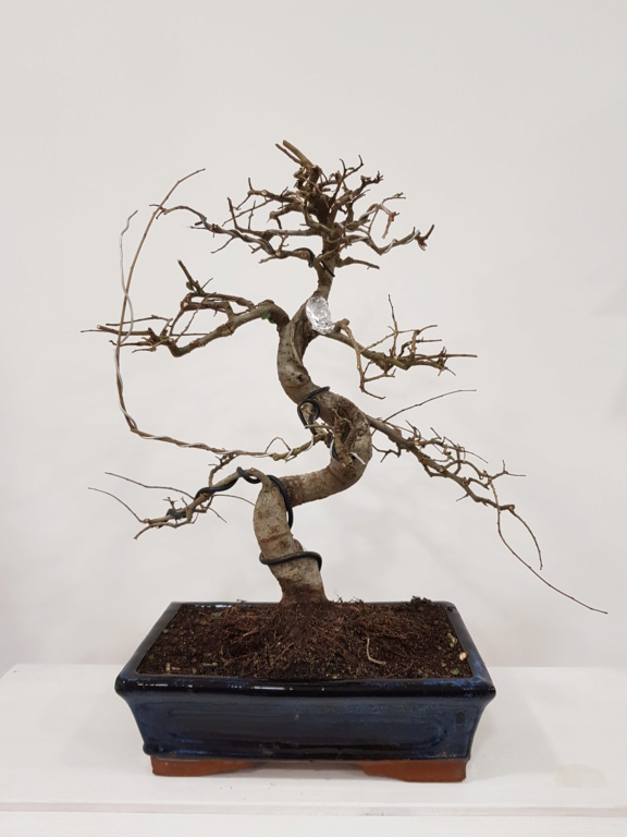 Primo bonsai Zelkova 20191111