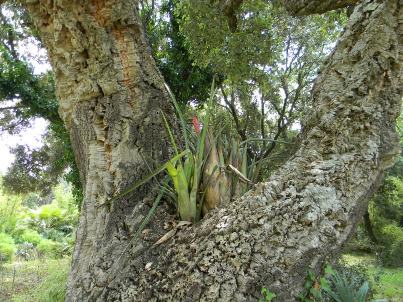 Support à épiphytes et broméliacées rustiques - Page 6 21810