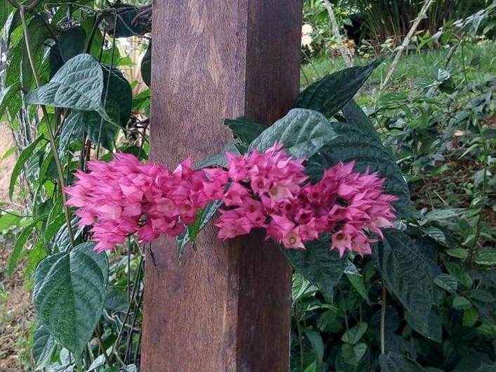 Clerodendrum x speciosum  22522111