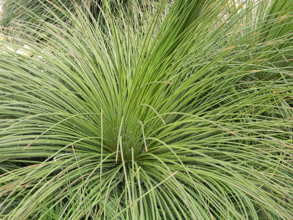Agave geminiflora 'Atricha' ?  23_04_30