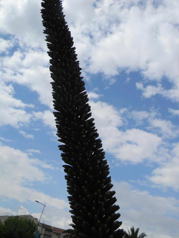Agave geminiflora 'Atricha' ?  23_04_31