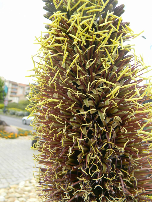 Agave geminiflora 'Atricha' ?  23_04_32