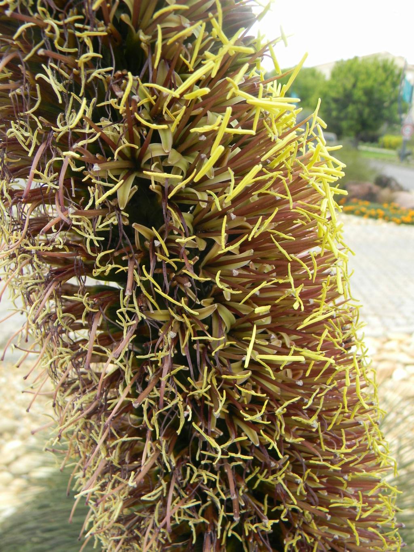 Agave geminiflora 'Atricha' ?  23_04_33