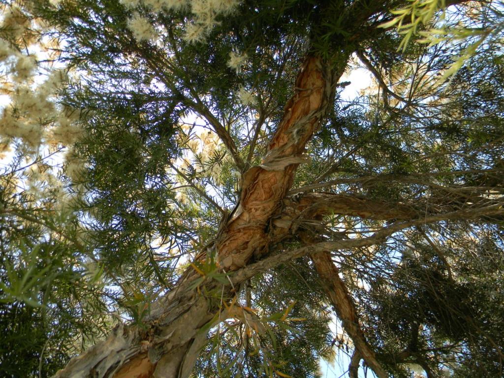 Melaleuca linariifolia 41111