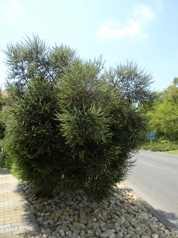Sur la voie Olbia à Hyères les palmiers  42810