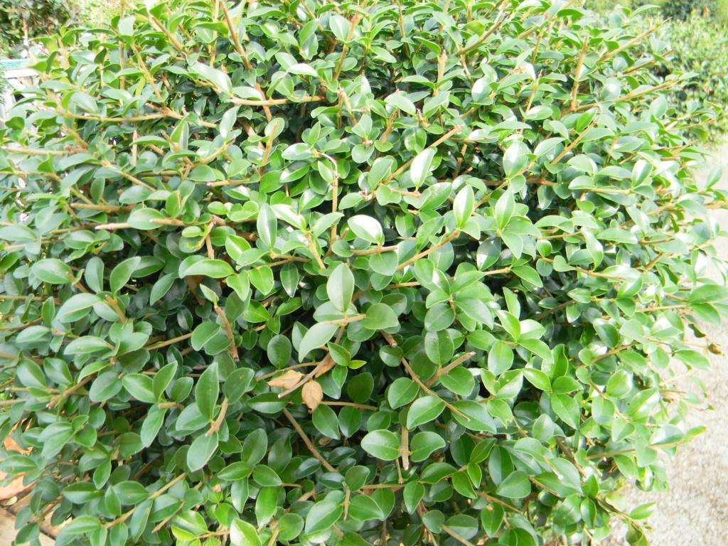 Ligustrum delavayanum 'ionandrum'  Animat10