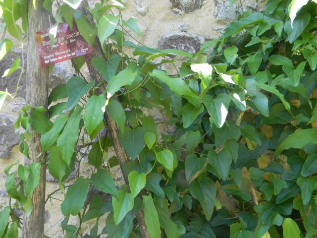 (06) Jardin botanique de la Villa Thuret - Antibes Antibe13