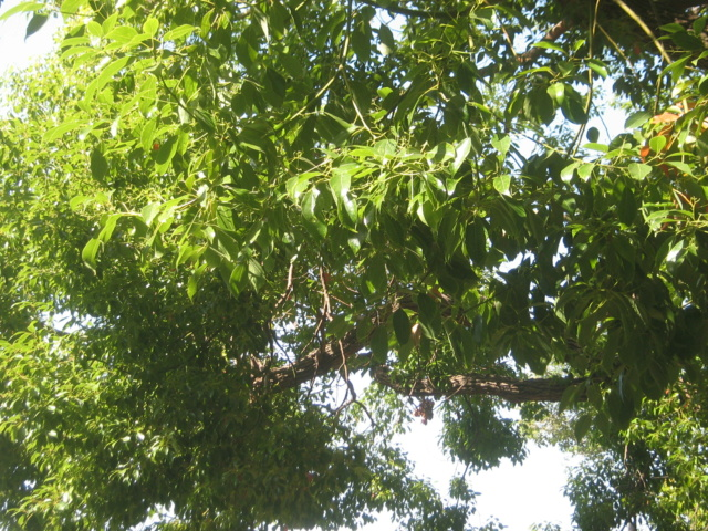 Cinnamomum camphora - camphrier - Page 5 Balagu10