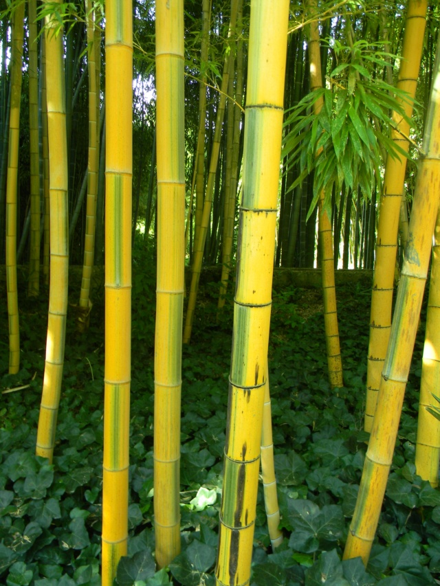 (30) La Bambouseraie d'Anduze - Page 4 Bambou17