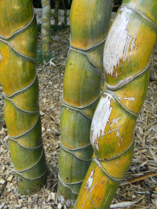 (30) La Bambouseraie d'Anduze - Page 4 Bambou27