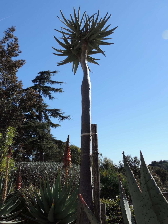 Aloidendron dichotomum (ex Aloe dichotoma) - Page 2 Bormes19