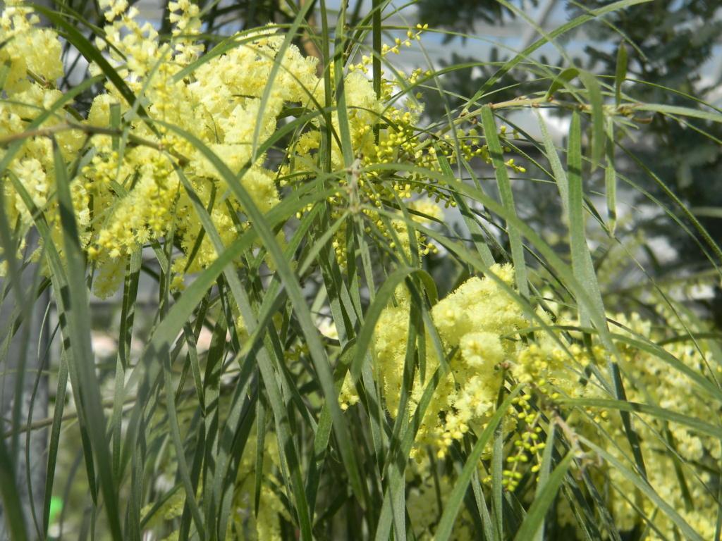 Acacia Dealbata [identificaton] Bormes29