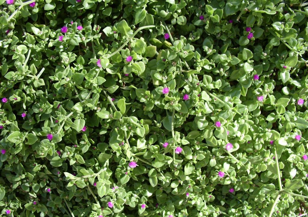 Mesembryanthemum cordifolium (= Aptenia cordifolia) Canon_10