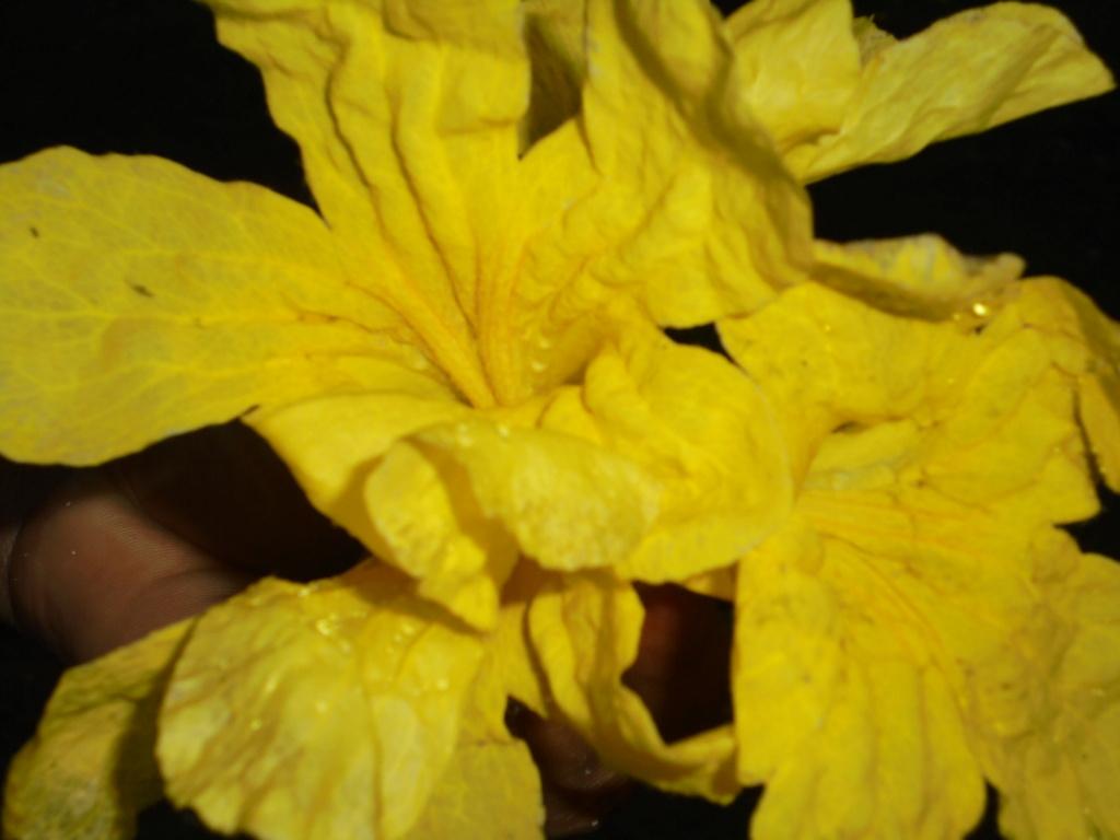 Tabebuia rosea & Handroanthus chrysanthus (= Tabebuia chrysantha) Dsc00110