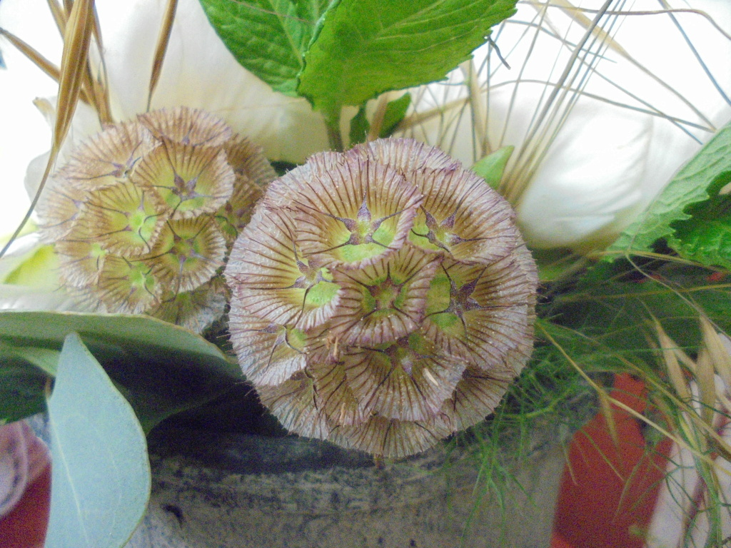 Lomelosia stellata [Identification] trouvée (LardyMum)  Dsc00113