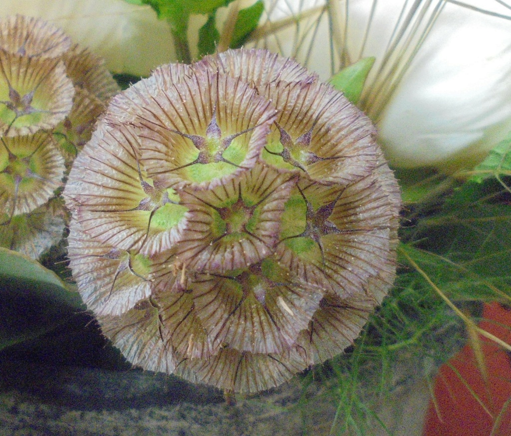 Lomelosia stellata [Identification] trouvée (LardyMum)  Dsc00115