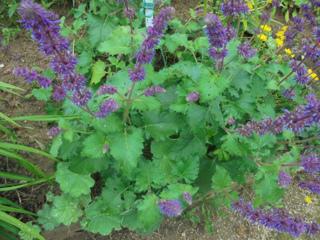 Salvia verticillata  Dsc00216