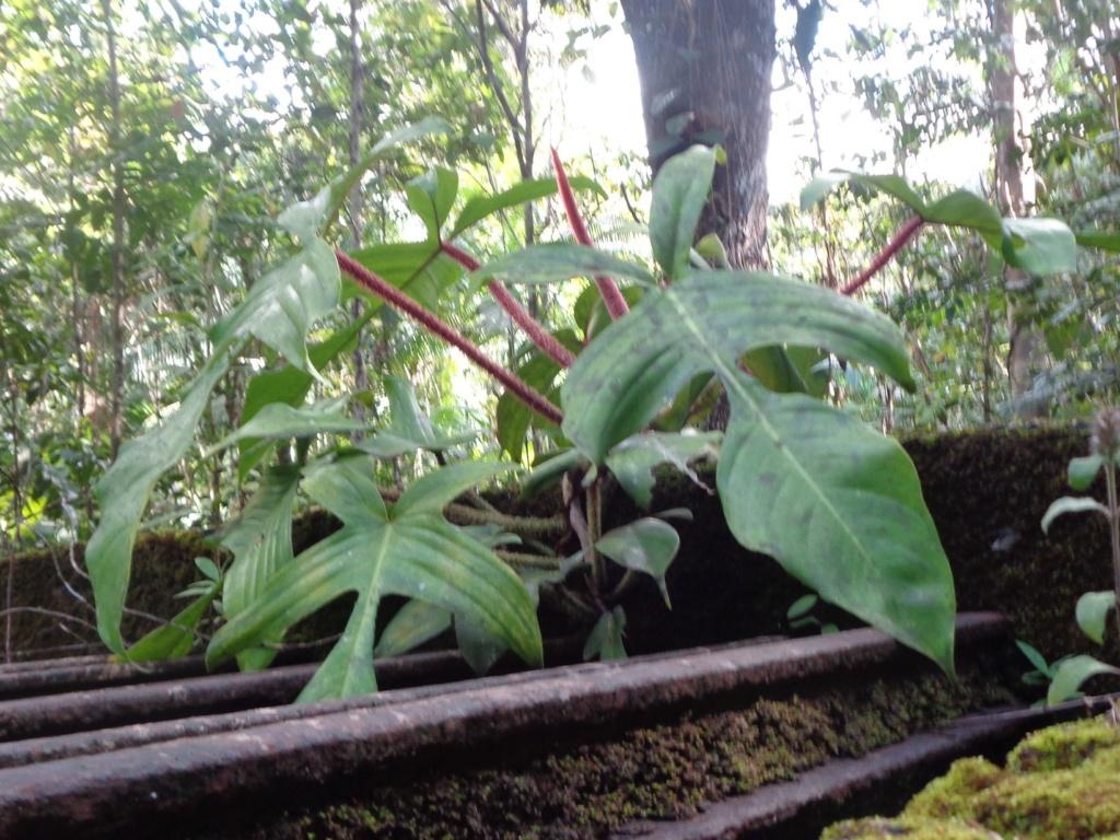 Philodendron squamiferum Dsc01110