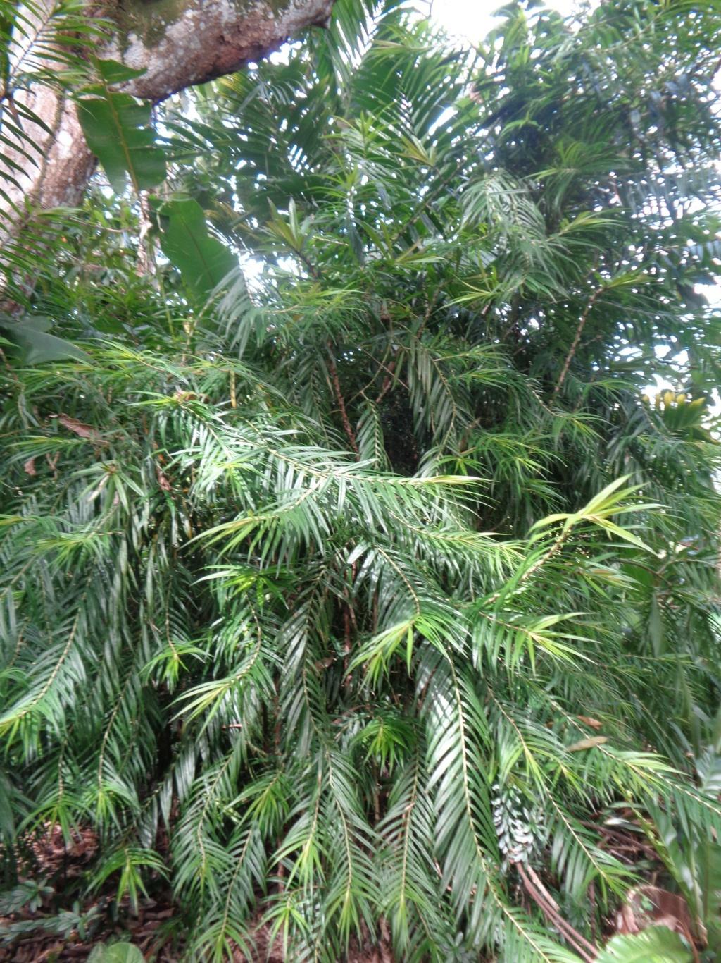 Freycinetia cumingiana Dsc01511