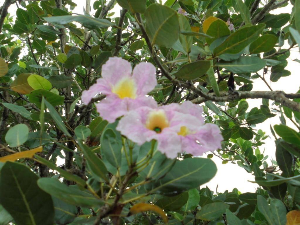 Tabebuia rosea & Handroanthus chrysanthus (= Tabebuia chrysantha) Dsc08713