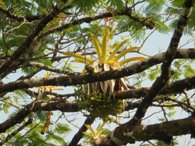 Support à épiphytes et broméliacées rustiques - Page 5 Dsc08911