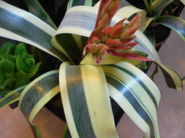 Bromeliaceae - famille - collections  - Page 6 Dsc09610