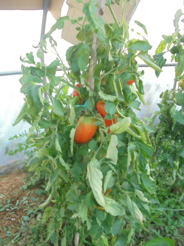Solanum lycopersicum - les tomates - Page 7 Dsc09736