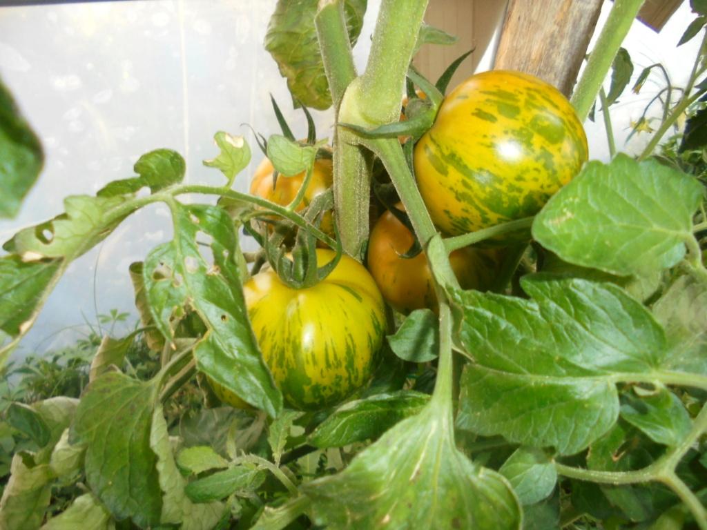 Solanum lycopersicum - les tomates - Page 7 Dsc09739