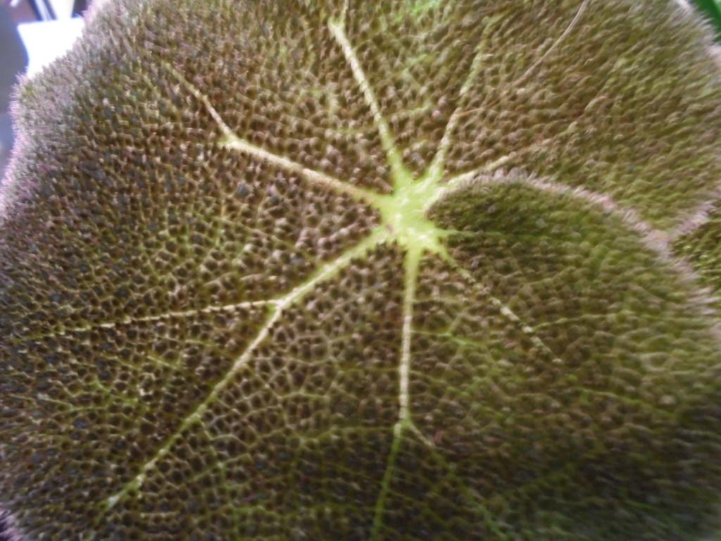 Begonia ' Eaglehamm' [identification ] Dsc09813