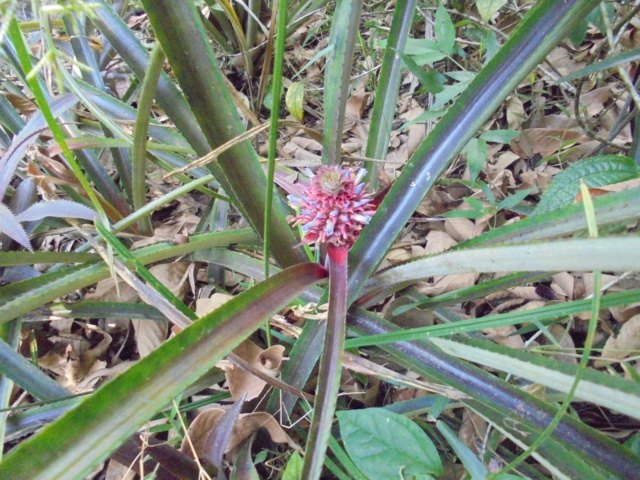 Bromeliaceae - famille - collections  - Page 6 Dsc09913