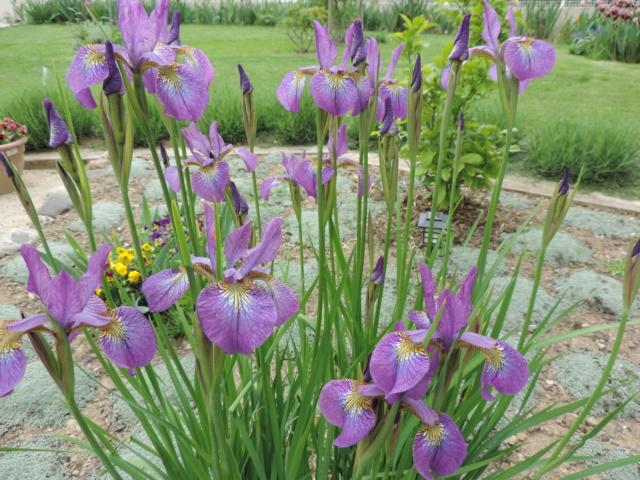 Iris sibirica 'Kita No Seiza' Dscn0014