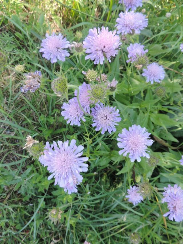 Knautia arvernensis - knautie d'Auvergne  Dscn0133