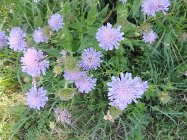 Knautia arvernensis - knautie d'Auvergne  Dscn0134
