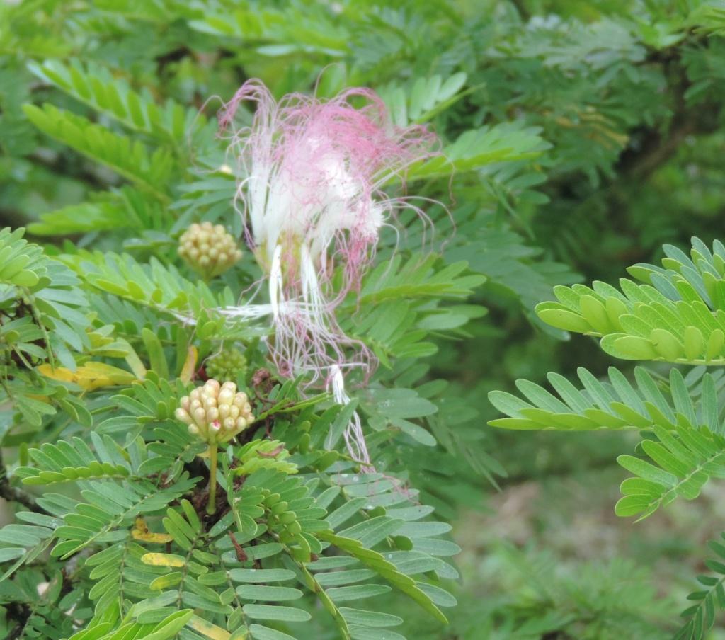 Calliandra surinamensis Dscn0180