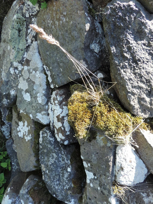 flore des vieux murs, rochers  et rocailles naturelles - Page 8 Dscn0302
