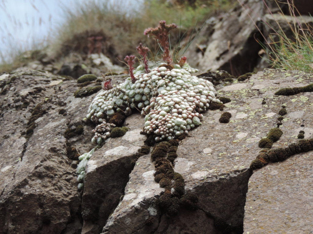 Sempervivum arachnoideum - joubarbe toile d'araignée Dscn0354