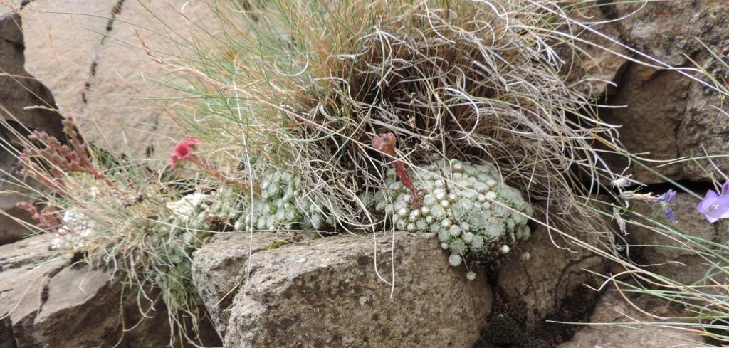 Sempervivum arachnoideum - joubarbe toile d'araignée Dscn0355