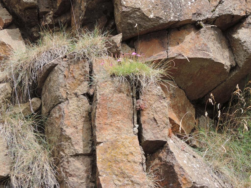 flore des vieux murs, rochers  et rocailles naturelles - Page 8 Dscn0359