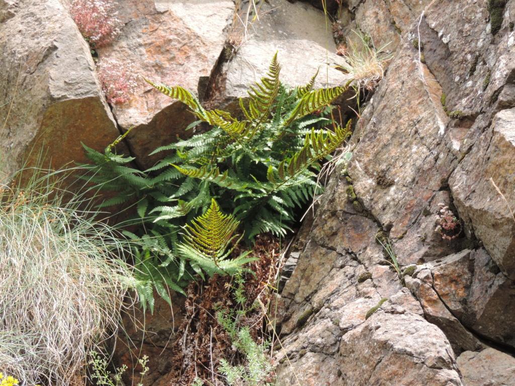 flore des vieux murs, rochers  et rocailles naturelles - Page 8 Dscn0360
