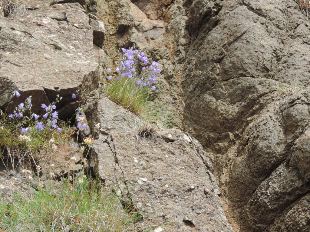flore des vieux murs, rochers  et rocailles naturelles - Page 8 Dscn0361
