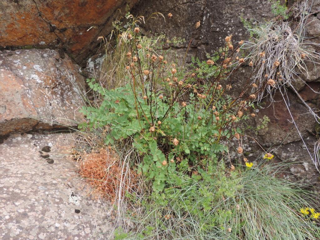 flore des vieux murs, rochers  et rocailles naturelles - Page 8 Dscn0365