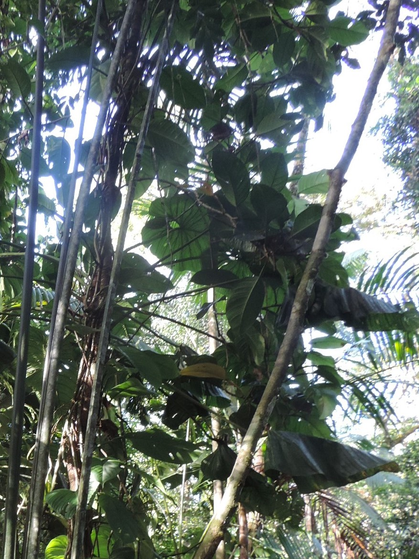 Philodendron giganteum Dscn0401