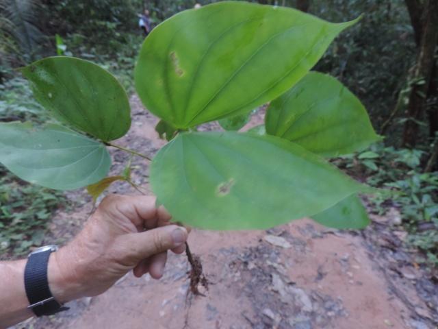 Erythrina crista-galli leucochlora Dscn0415