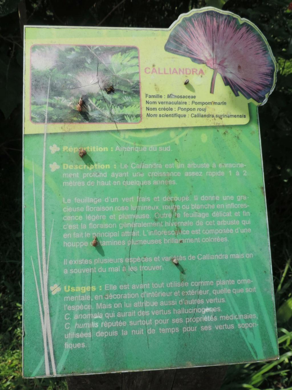 Calliandra surinamensis Dscn0423