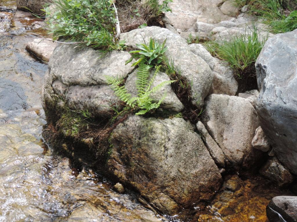 flore des vieux murs, rochers  et rocailles naturelles - Page 8 Dscn0430