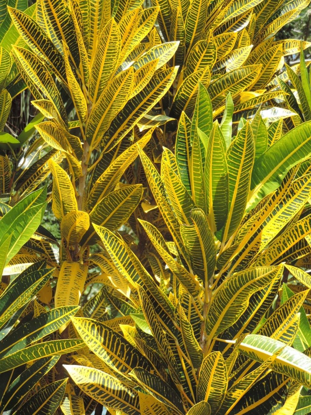 Codiaeum variegatum - croton Dscn9116